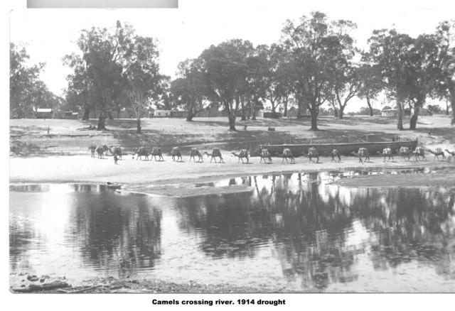 Camels crossing River during drought, Mildura.